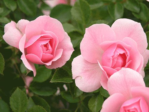 Bonica Shrub Rose - this is one tough landscape rose - needs little care and blooms almost continually, well into fall.  Grow Bonica and you can have a supply of informal cut roses for almost half the year.