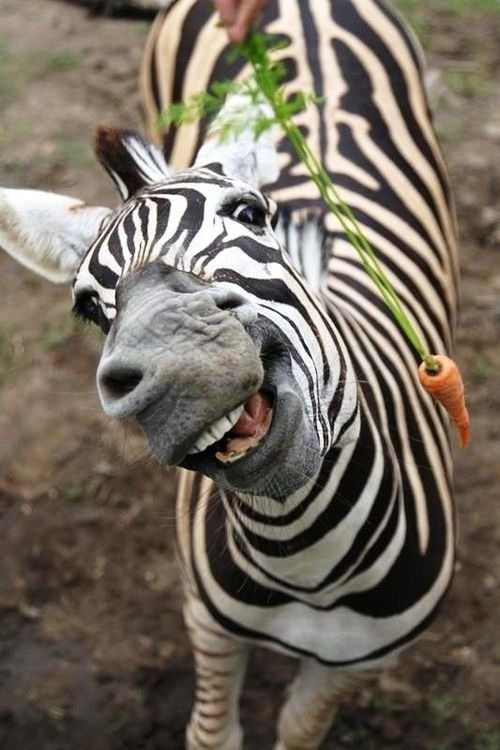 Zebra happy to see the carrot