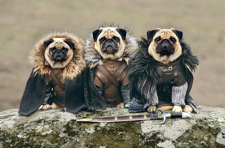 Game of Bones:  Lord Pugsley, Ser Puggard, and  Pugrick Payne, of house Bark.