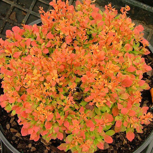 Tunberga bārbeles - barberry Berberis thunbergii 'Golden Ruby ('Goruzam') (PBR)'