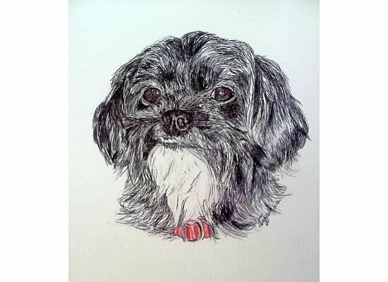 Petey - Shihtzu Poodle - Pen & Ink by Nancy Fitzgerald copyright 2012: Nancy Fitzgerald, Poodle Color Pink, Art Samples, Fitzgerald Copyright, Copyright 2012, Shihtzu Poodle