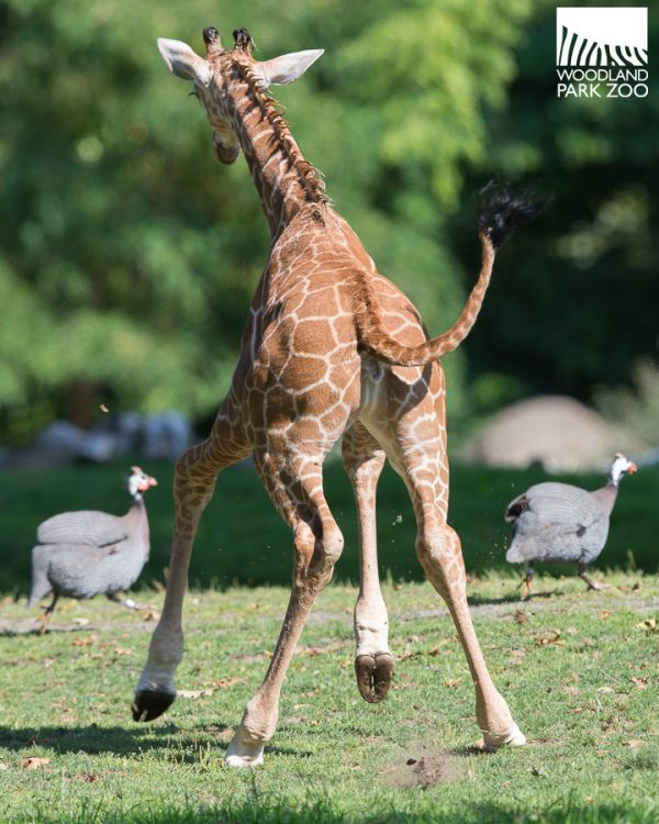 Lulu the Giraffe could barely contain her excitement when she went onto the savannah for the first time at Woodland Park Zoo! See more photos and video on ZooBorns.com and at http://www.zooborns.com/zooborns/2017/08/lulu-the-giraffe-calf-frolics-on-her-first-day-out.html
