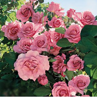 Social Climber Rose from Jackson and Perkins Roses. I can't wait to order this spectacular beauty