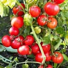 Good for canning - Tomato, Determinate - Tatura Dwarf
