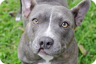 Pictures of Hadley a Pit Bull Terrier/French Bulldog Mix for adoption in College Station, TX who needs a loving home.