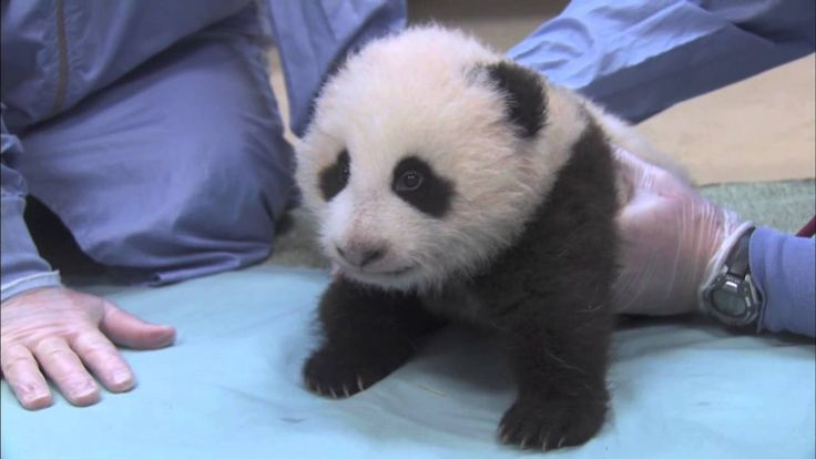 Our panda cub was more interested in walking and moving than weights and measurements during his weekly exam this morning. http://sandiegozoo.org/pandacam Co...