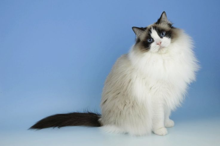 ragdoll cat breed 4 Funny Cat Wallpapers