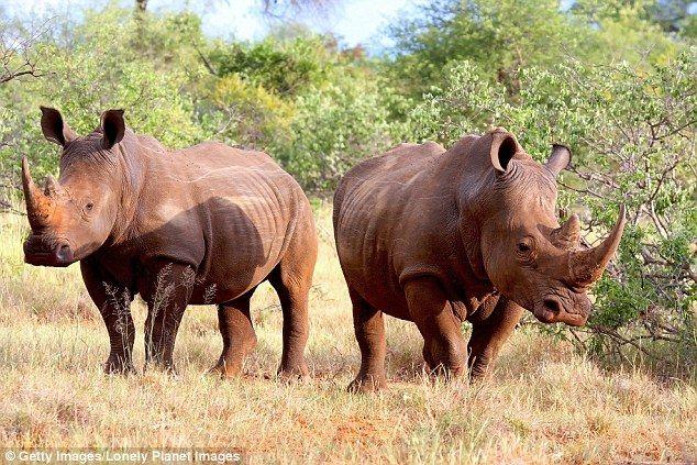 During his trip to Zimbabwe, Peter Oborne enjoyed the privilege of seeing white rhino (stock image)
