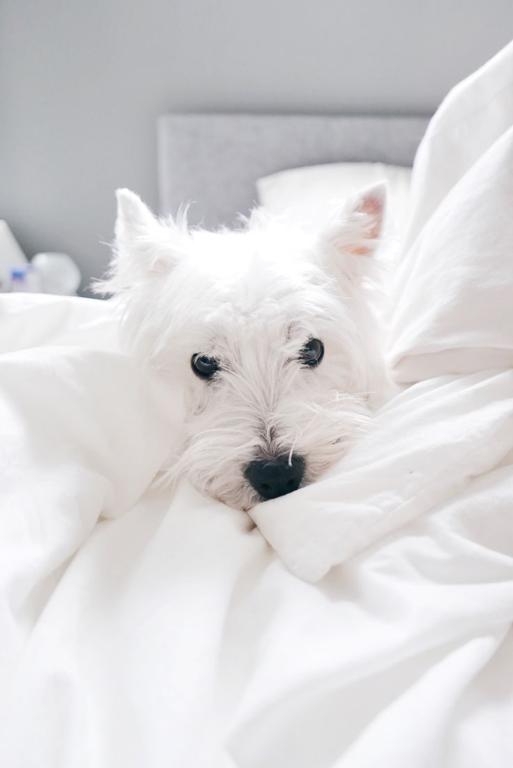 Sundays | The Westie Besties | Follow The Westie Besties on Instagram: http://www.instagram.com/thewestiebesties | Photo by Katherine Penfold | #WestHighlandTerrier #Westies #WestHighlandWhiteTerrier #Dogs #Pets #WestieBesties