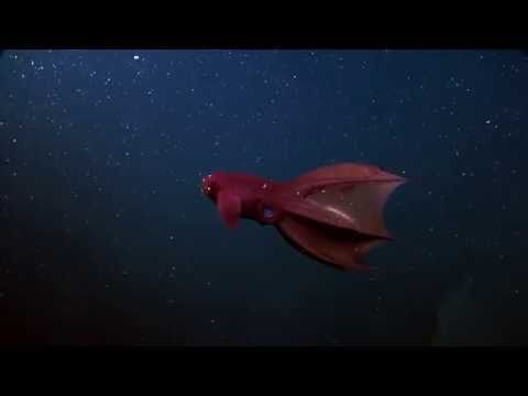 The Vampire Squid From Hell, sciencefriday: Vampyroteuthis infernalis is neither a vampire, nor a squid, by is a gentle cephalopod, a steward of the ocena's depths, which gracefully foragaes on marine detritus, marine 'snow'. #Cephalopods #Vampire_Squid