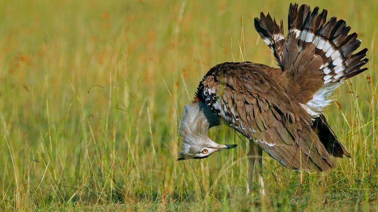 A confused male kori bustard http://ift.tt/2FHdolL