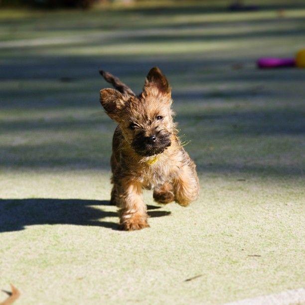 Cairn Terrier puppy!