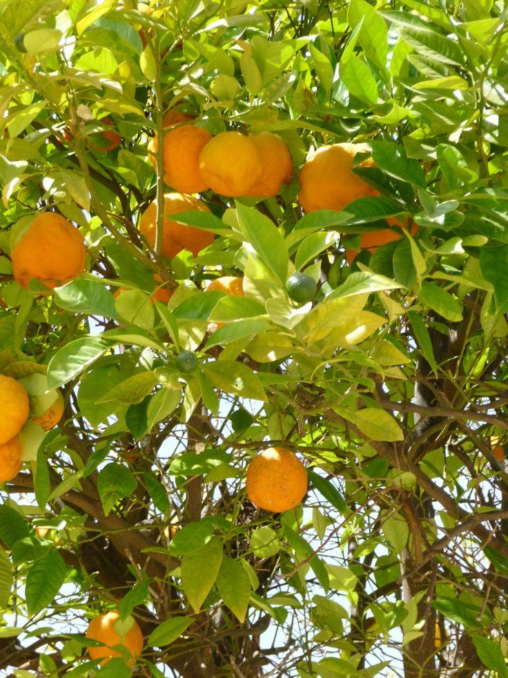 Marokko, de beste sinaasappels ooit uit Berkane