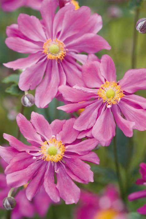 Fylld höstanemon, Anemone hupehensis var. japonica 'Pamina' | Buskig perenn med höga stänglar med av fyllda, mörkt rosa blommor med gul mitt. Blommar under hösten (aug-okt). Breder ut sig och kan med tiden täcka ett större område. Bör vintertäckas med exempelvis granris. Härdig i stora delar av landet. 60-70 cm hög.