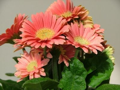 How Do I Get Seeds From Gerbera Daisies?