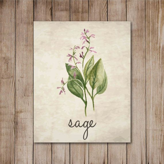 Salvia hierba acuarela pergamino antiguo botánico por 1thirteen