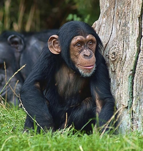 1000+ images about Chimpanzees on Pinterest | Eye close up ...
