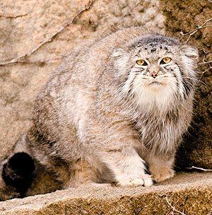 Chicago - Lincoln Park Zoo, Pallas' Cat