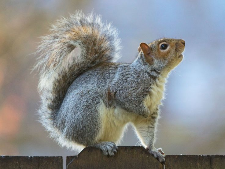 Eastern gray squirrel 37 by ~EasternGraySquirrel on deviantART
