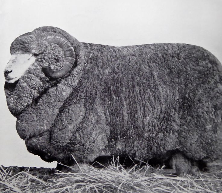 Stud Merino Ram, Bred at Hadden Rig and sold at the 1926 Annual Sydney Sheep show for the record price of 1300 Guineas at auction. Haddon Rig, New South Wales. The Property of Franc B. S. Falkiner, Esq. Originally a property of approximately 28,000 acres. Enlarged to 80,000 acres with the purchases of Merrimba Station, Wemabung Station and Bona Station in the early 1920s. Photo circa 1920. Uploaded courtesy of thecollectorsbag.com