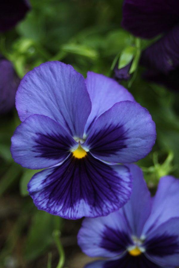 pansy flower. Not quite blue nor purple.