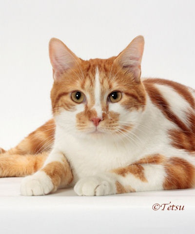 IW SGM BASHFUL BERYL OF CAREYCATS RED CLASSIC TABBY/WHITE - TICA'S 2011-2012 HOUSEHOLD PET OF THE YEAR