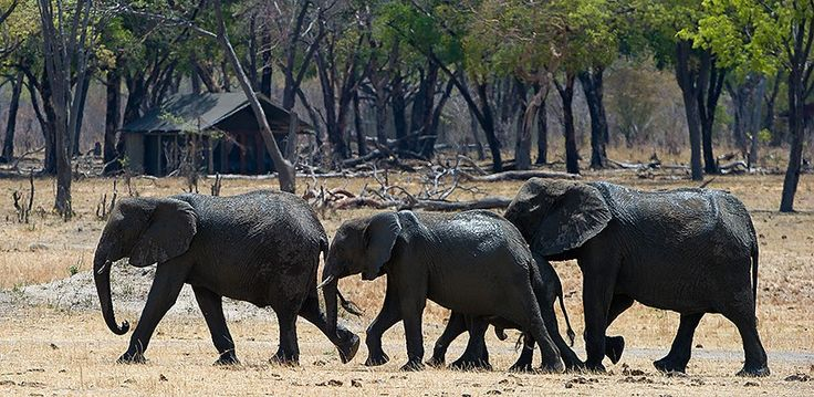 Elephants in front of Davison's Camp, Hwange National Park, Zimbabwe | Wilderness Safaris