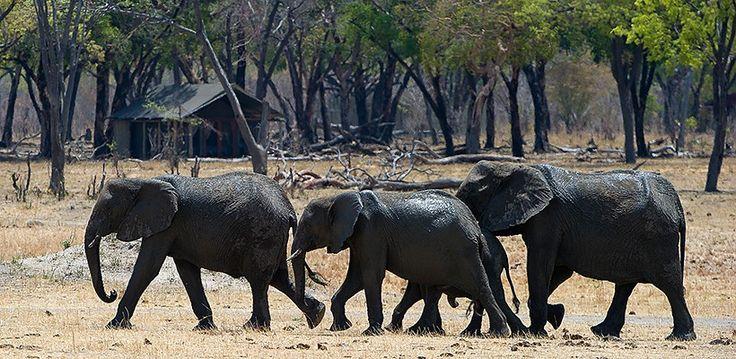 Elephants in front of Davison's Camp, Hwange National Park, Zimbabwe | Wilderness Safaris