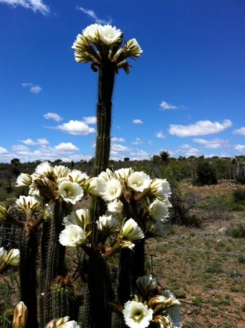 Kaktusblomme net buite Graaff-Reinet