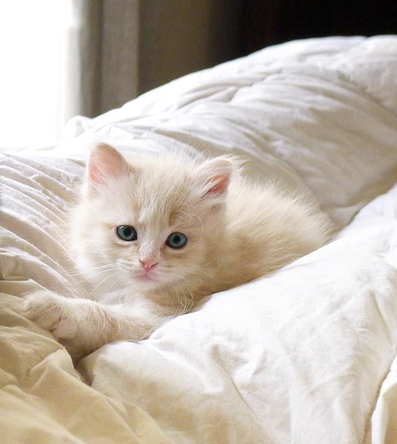 White Kitten - and More: http://catbreedswithpictures.com/35-cute-white-kittens-of-the-web/