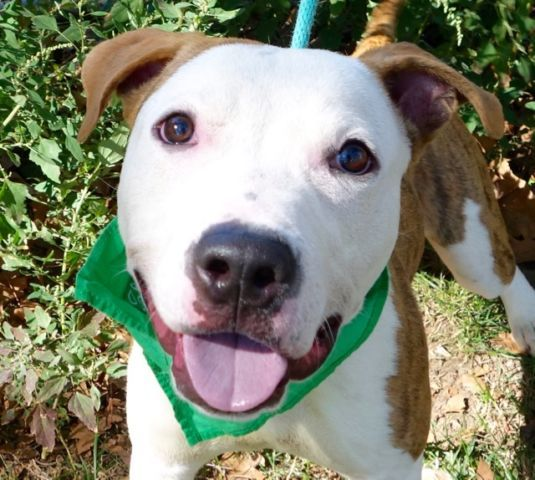 FRUIT PUNCH - A1093320 - - Manhattan  Please Share:TO BE DESTROYED 10/22/16  A volunteer writes: Truly the face of a choir boy. I love Fruit Punch's smile, his big round and gullible eyes and his lovely snow-white face framed by butterscotch ears. I was taken aback by his energy after I leashed him…a real bronco. Are we going to make it to the park? Pullers are not my specialty, and I know some other volunteers who would do better than me. We'll manage. So