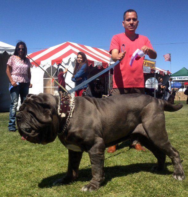 Old World Mastinos, Neapolitan Mastiffs, Neapolitan Mastiff puppies   SHOW SUCCESS
