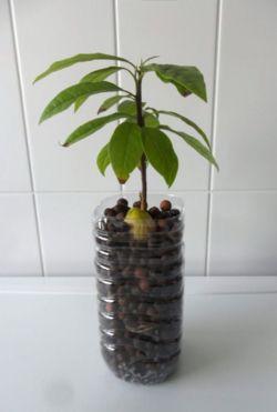 #Plantez votre propre #avocatier, apprenez à maîtriser cette #graine et pleins d'autres! http://www.ecoclicot.com/blog/trucs-et-astuces-ecolo/savez-vous-planter-les-graines.html