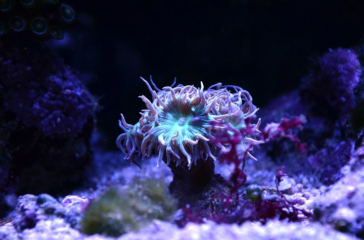 A Beautiful Duncan Coral (LPS) under Ecotech Radion LED light