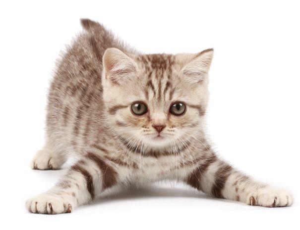 Очень активный и игривый котенок - почему он носится как сумасшедший?  Если вы ухаживали за котенком, то вам могло показаться, что этот крошечный пушистый комок имеет две личности. Одной из них является застенчивый, милый и любящий питомец, которые мурлычет и отдыхает рядом с вами на диване. Но зато вторая - это гиперактивный домашний зверь. Тем не менее, рано или поздно это проходит, и котенок вырастает во взрослую кошку со своим индивидуальным характером.  Просто этап  Ваш новый котенок…
