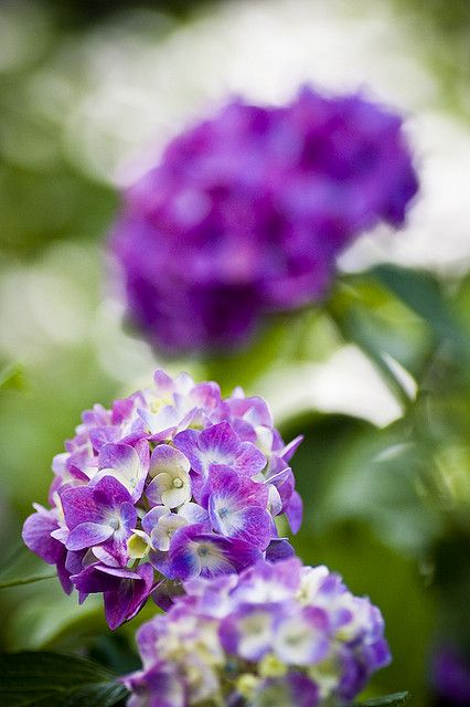 Hydrangea - Purple and green hydrangeas in wine bottles for the centerpieces.