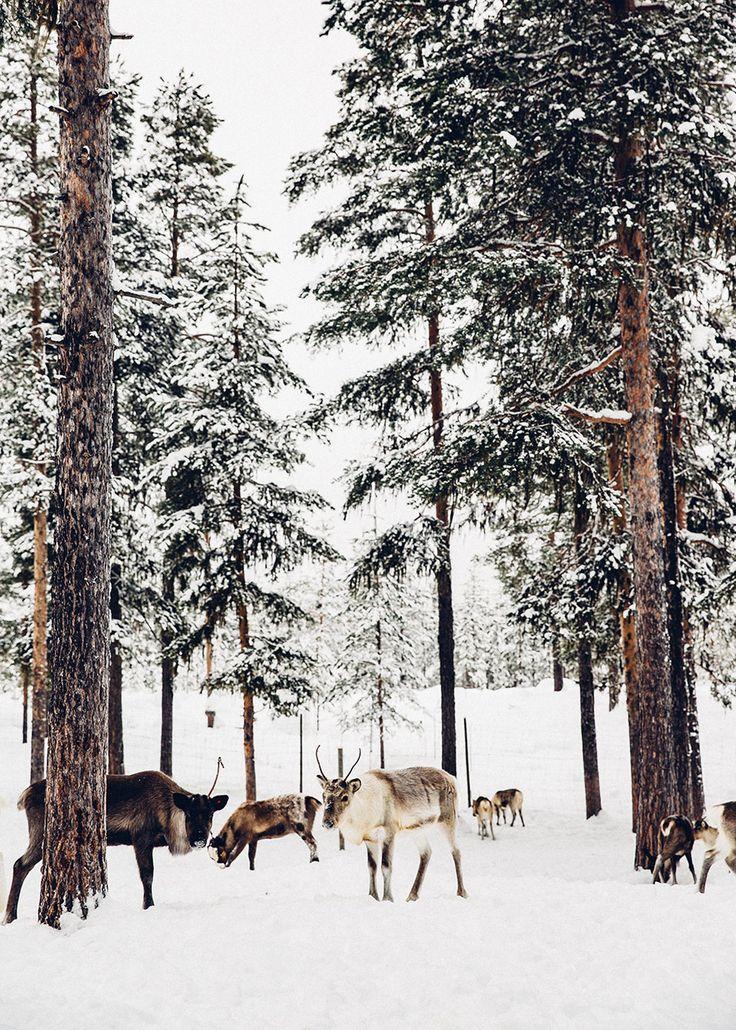 The Reindeer of Sweden.