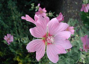Tysk poppelrose - juli-sept. - Lavatera-thuringensis-flower.JPG