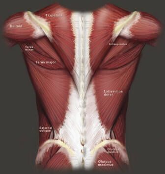 Human Anatomy - Muscles of the back. #anatomy