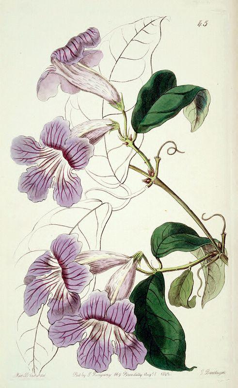 Argentine Trumpet Vine, Violet Trumpet Vine (1842)