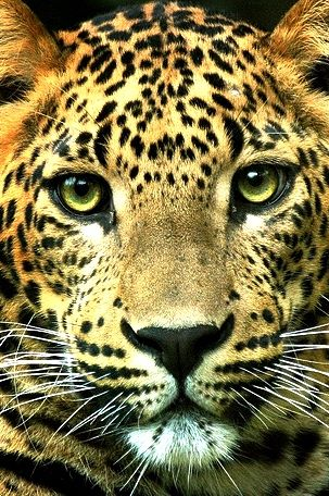 """Leopard with mesmerizing eyes.  Of course, he's probably thinking, """"You look like a tasty lunch."""""""