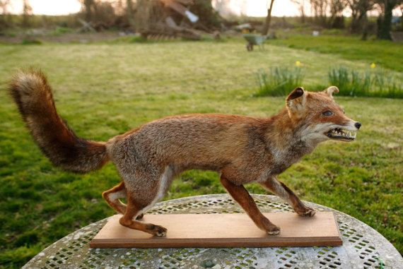 Vintage Taxidermy Fox by fishbellyantiques on Etsy