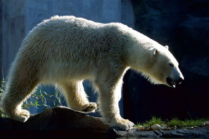 Photo polar bear by David Sellitsch on 500px