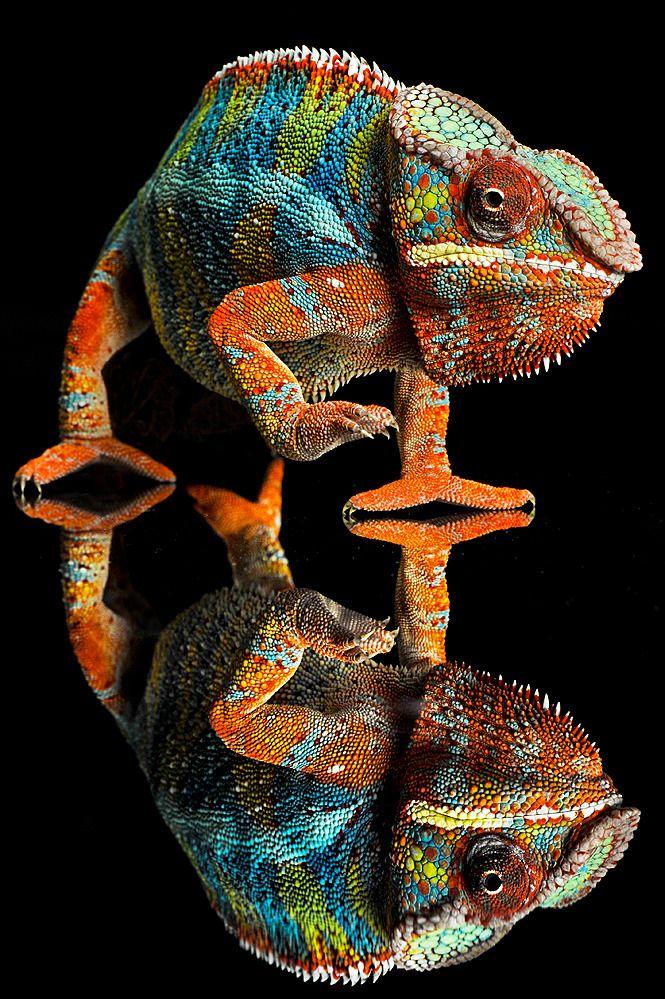 Der Farbwechsel dient bei Chamäleons nicht in erster Linie der Tarnung, sondern vor allem zur Kommunikation mit Artgenossen.