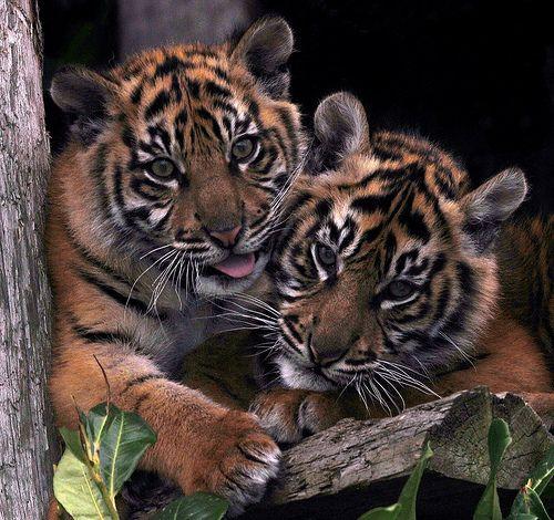 SUMATRAN TIGER CUBS | Flickr