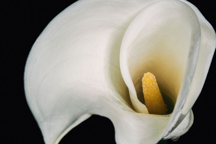 We swear, this isn't a painting! It's a gorgeous photograph of a calla lily.  Perfect floral artwork and home decor. | Available for purchase at LucentCreations.com || #flower #artwork #homedecor #art #photo #lily #painting #giftideas #gift