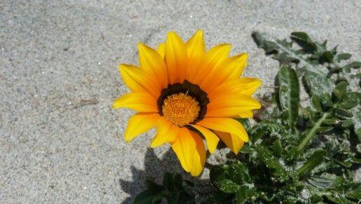 Flower on papamoa beach