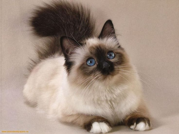 Persian Cats Information