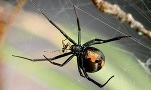 An adult female Australian redback spider with dead a male