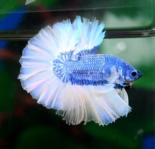 76 best beta fish tattoo images on pinterest for Cute freshwater fish